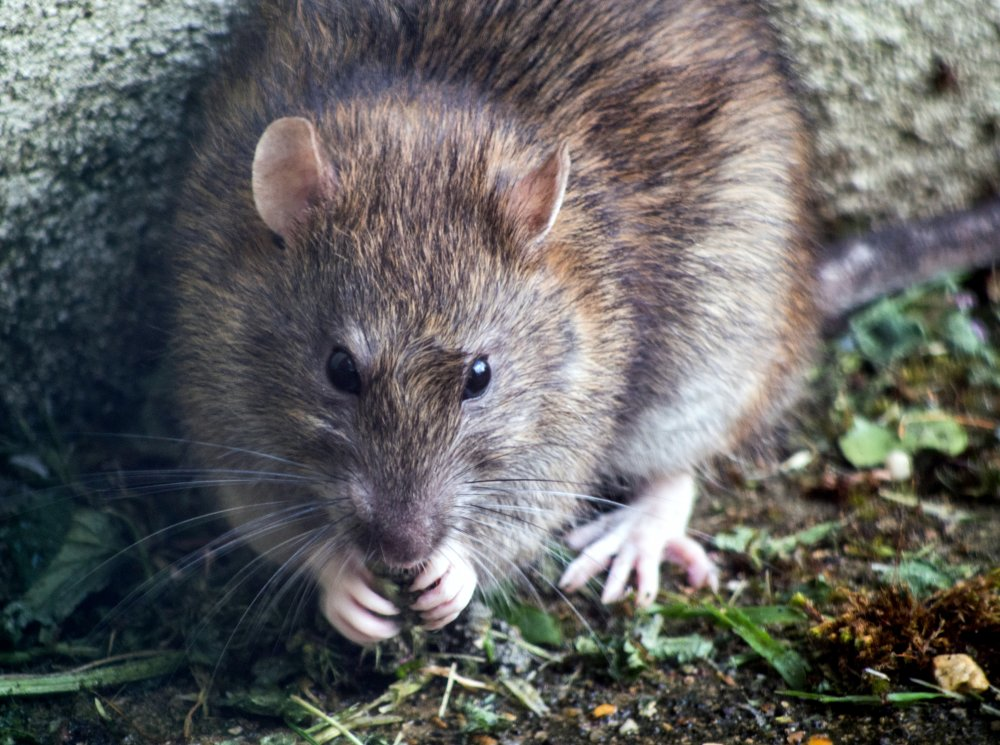 Find en rottebekæmper i Nykøbing Falster